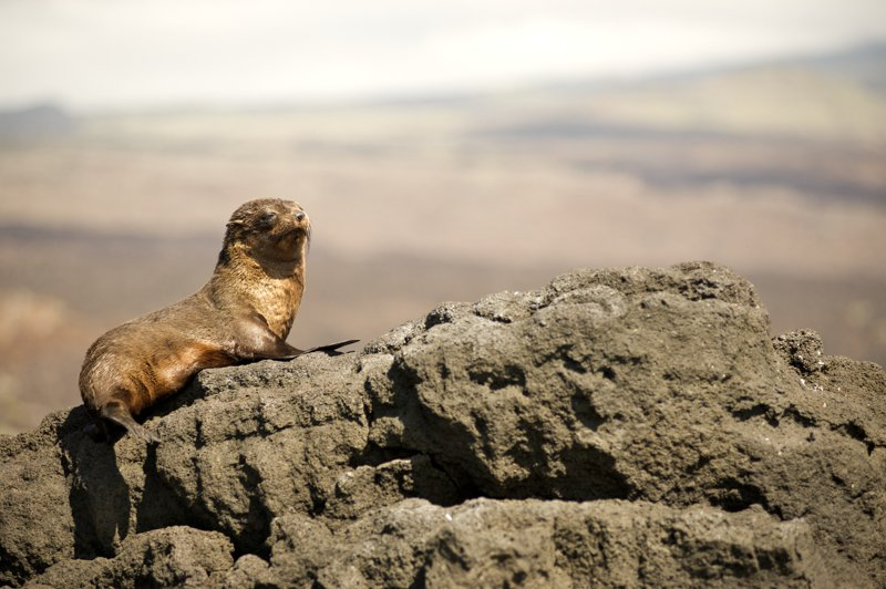 Galapagos-Fur-Seal-sleepy-Humboldt-Explorer-Galapagos-Explorer-Ventures-Liveaboard-Diving