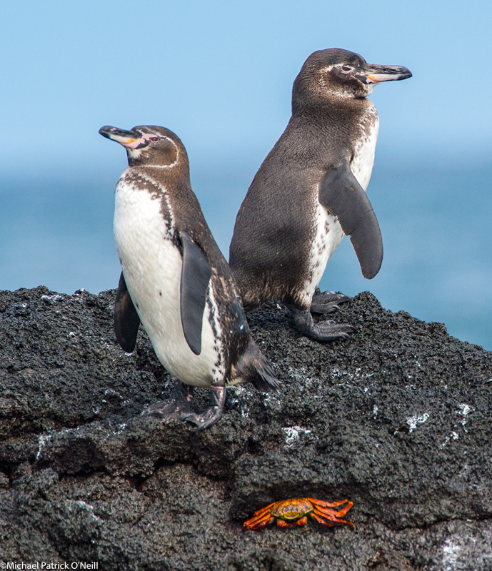 Galapagos Penguins at Bartolome by Micahel Patrick O'Neill