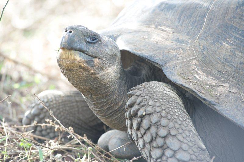 Galapagos-tortoise-Humboldt-Explorer-Galapagos-Explorer-Ventures-Liveaboard-Diving