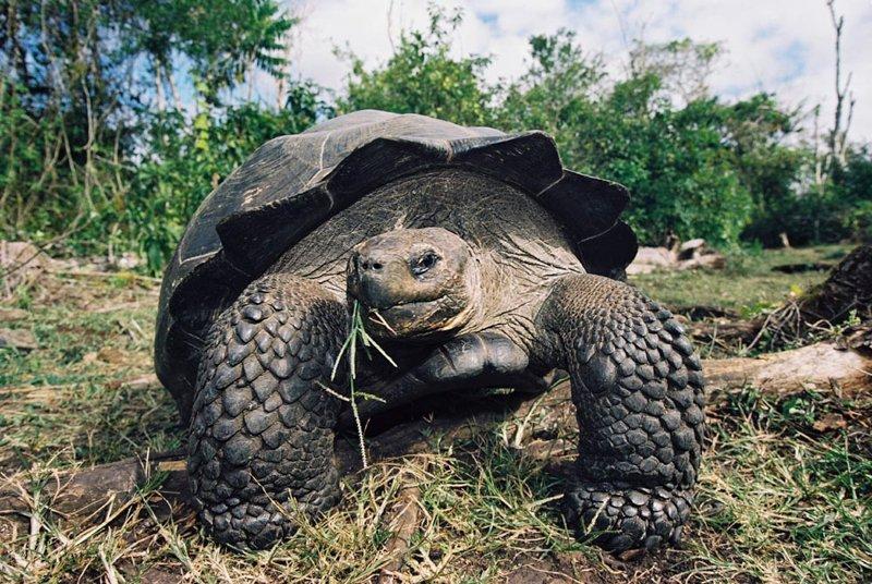 Galapagos tortoise02