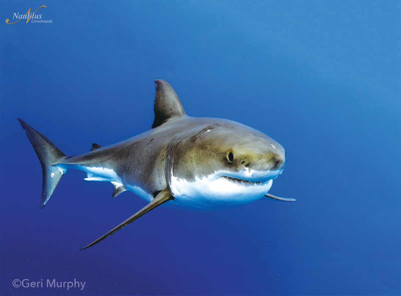 Guadalupe-great-white-sharks_002