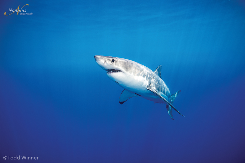 Guadalupe-great-white-sharks_004