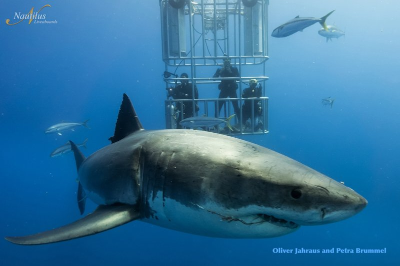 Guadalupe-great-white-sharks_010