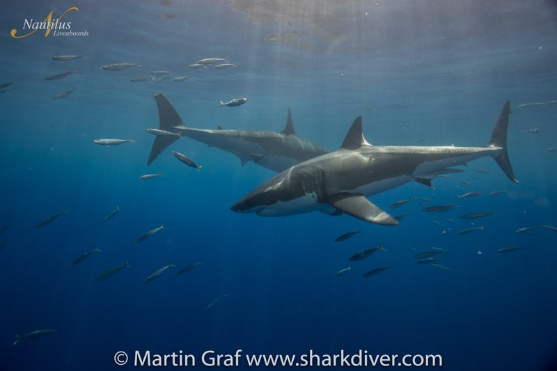 Guadalupe-great-white-sharks_011