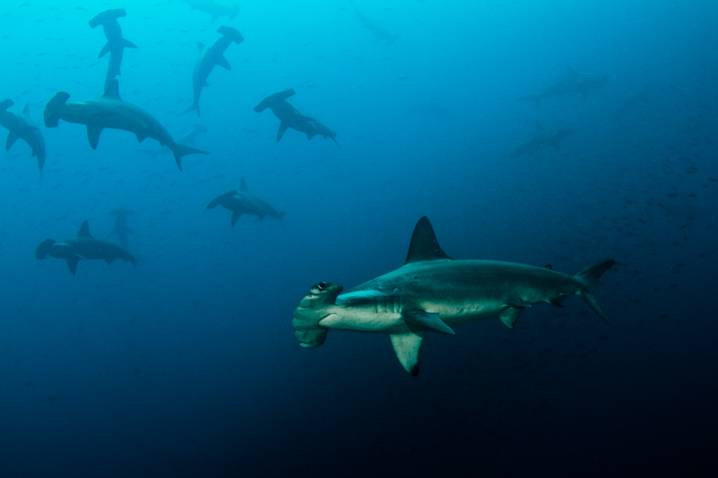 Hammerhead-school-Humboldt-Explorer-Galapagos-Explorer-Ventures-Liveaboard-Diving
