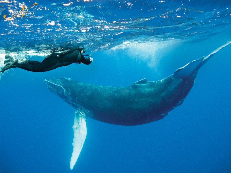Socorro-humpback-whale-001