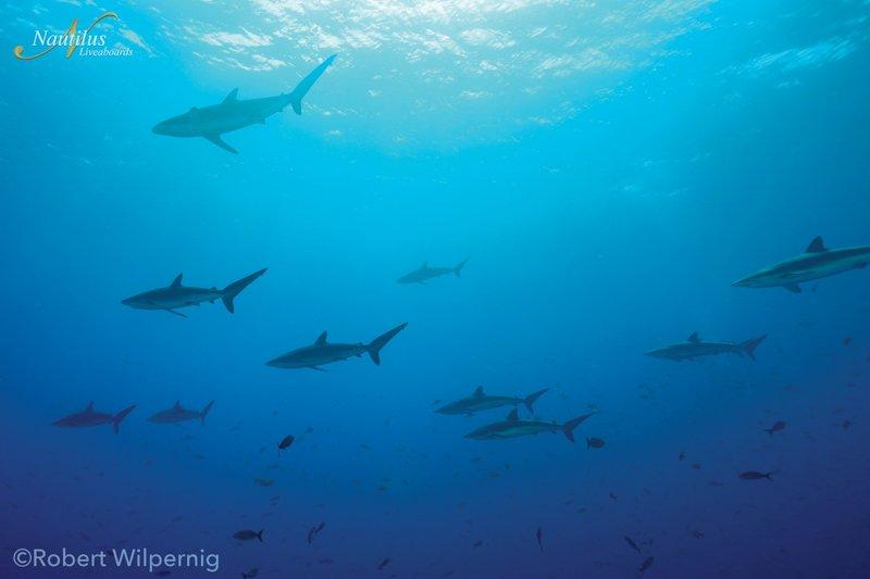 Socorro-schooling-silky-sharks-001