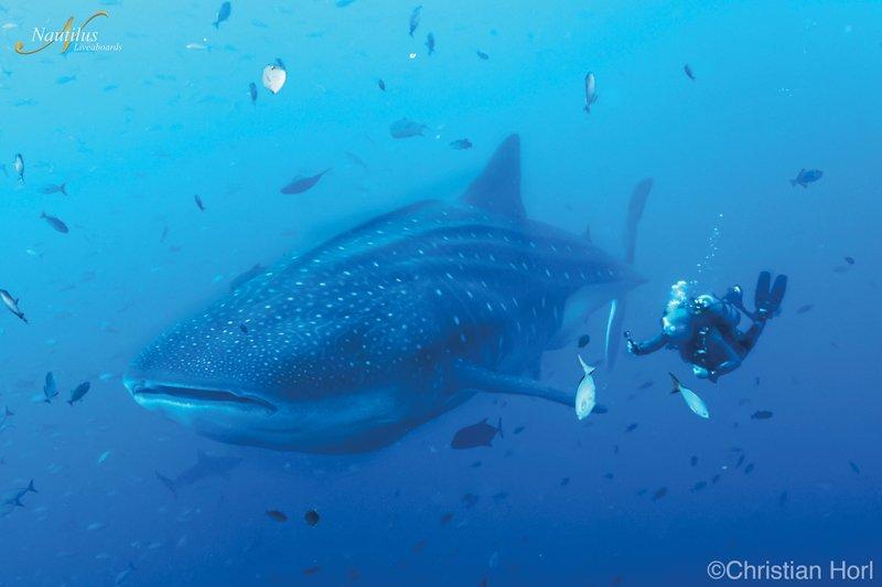 Socorro-whale-shark-001
