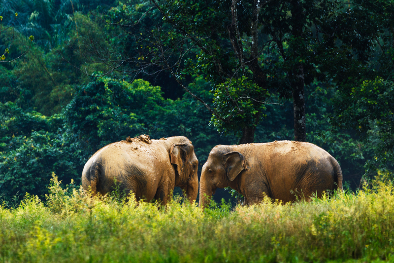 Ethical Elephant Experience at Elephant Hills Luxury Tented Camp Khao Sok National Park Thailand - no Elephant Riding or Trekking_update