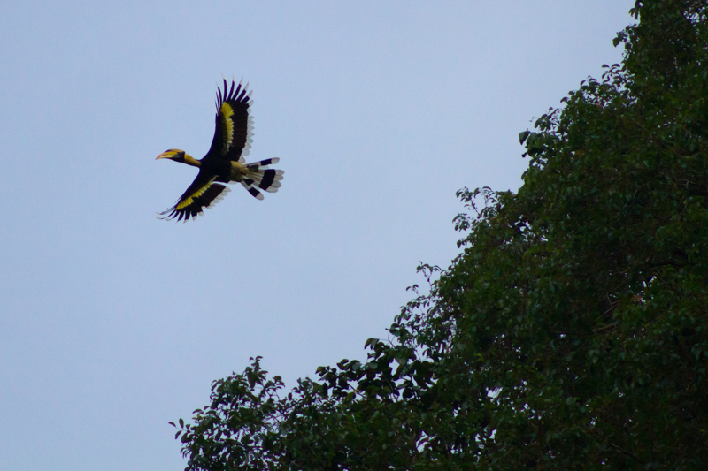 Elephant Hills Khao Sok National Park Thailand Wildlife - Great Hornbill 2