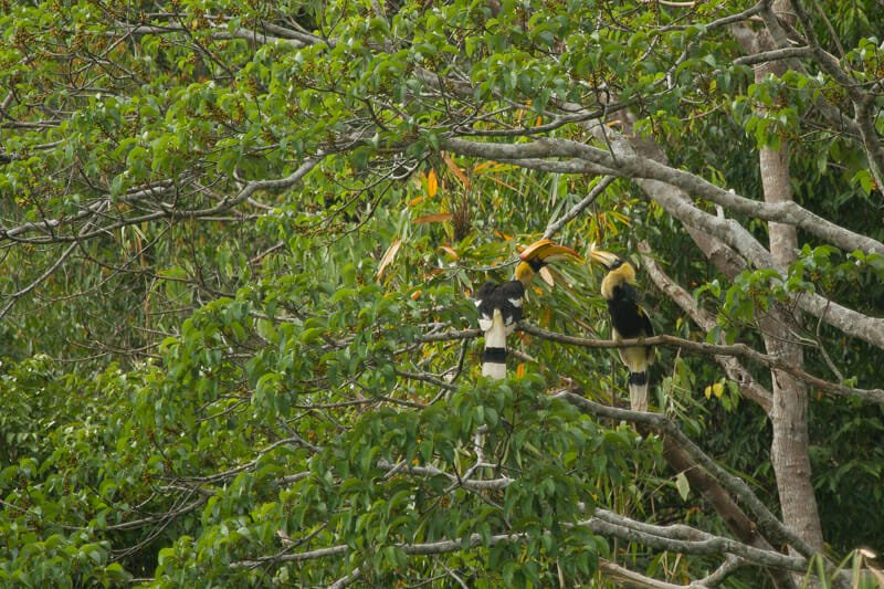 Elephant Hills Khao Sok National Park Thailand Wildlife - Great Hornbill Feeds Chick