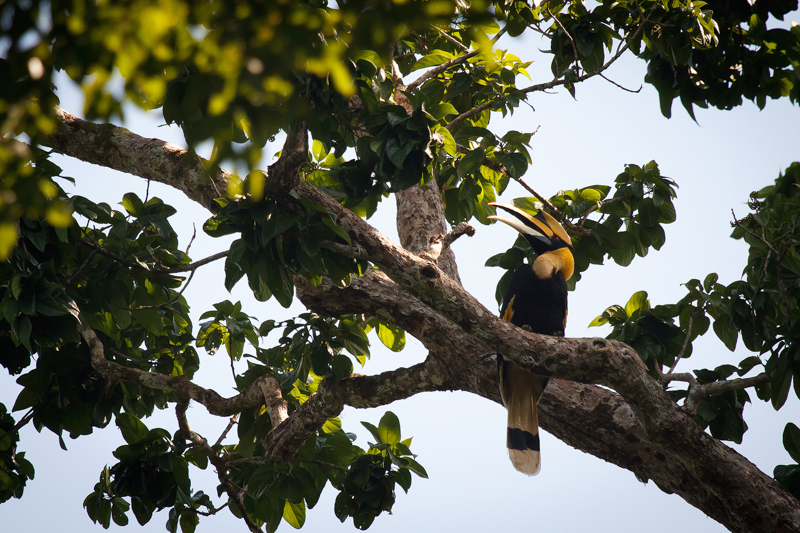 Elephant Hills Khao Sok National Park Thailand Wildlife - Great Hornbill