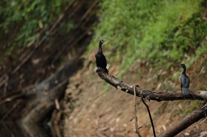 Elephant Hills Khao Sok National Park Thailand Wildlife - Little Cormorant 2