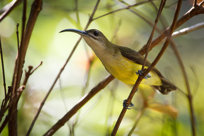 Elephant Hills Khao Sok National Park Thailand Wildlife - Little Spiderhunter