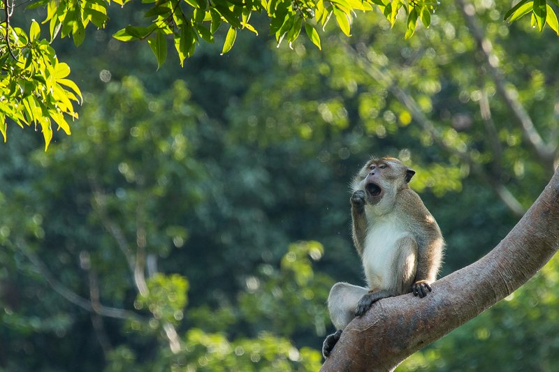 Elephant Hills Khao Sok National Park Thailand Wildlife - Long Tailed Macaque 1