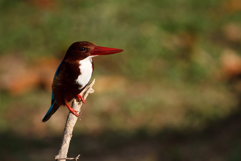 Elephant Hills Khao Sok National Park Thailand Wildlife - White-Throated Kingfisher