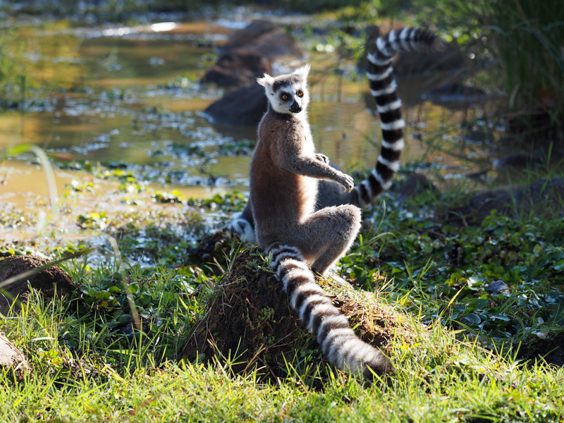 Day 05_lemur