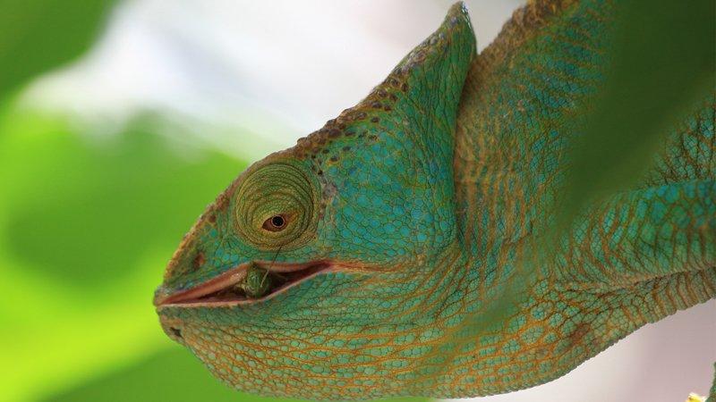 Day 06 chameleon