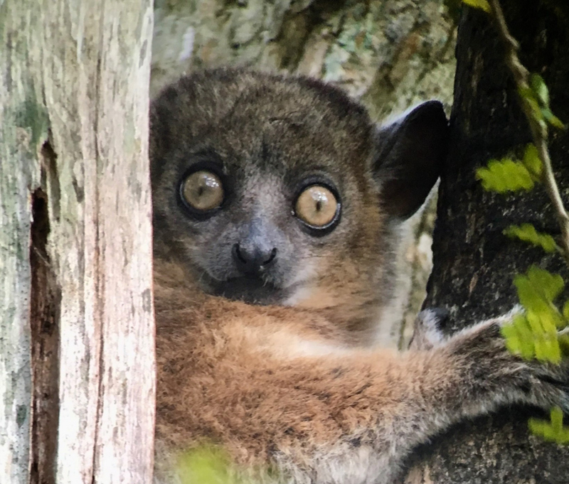 Day 08_Zombitse-Sportive-Lemur