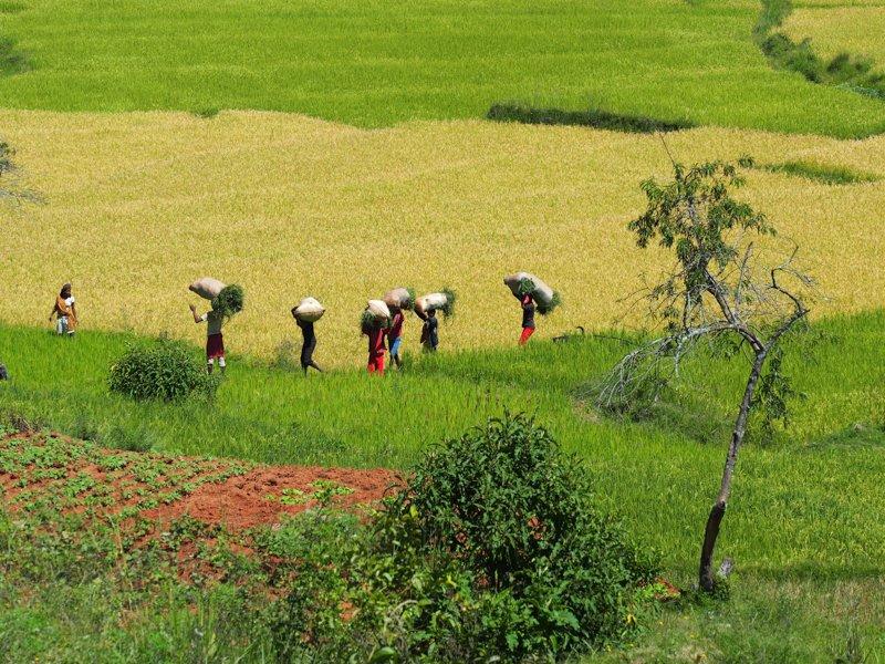 Day 11_rice_fields