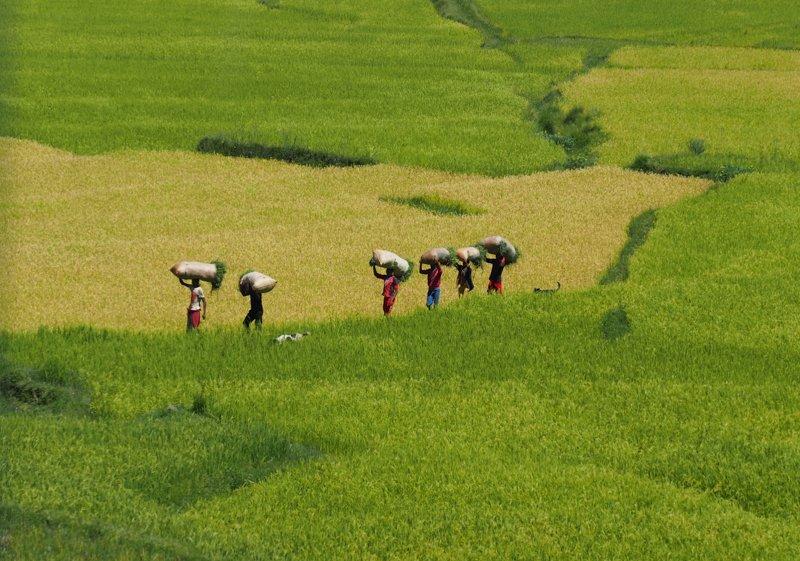 Day 16_rice-fields-highalnd