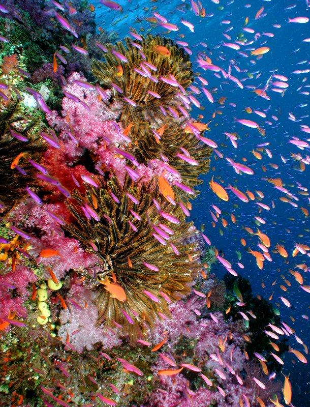Image courtesy Nai'a-Cat-Holloway-coral-crinoids