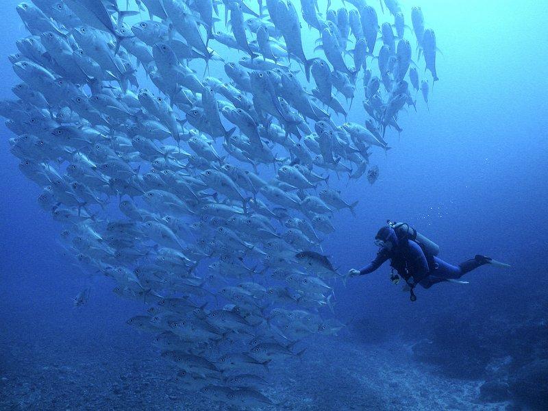 Image courtesy Nai'a-Cat-Holloway-diver-trevally
