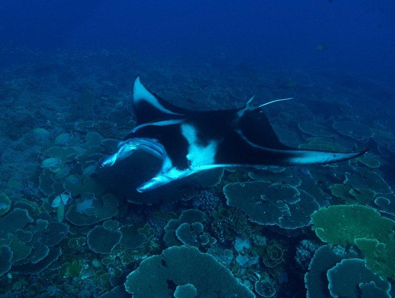 Image courtesy Nai'a-Cat-Holloway-manta-corals