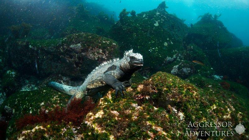 Galapagos Aggressor III diving-19