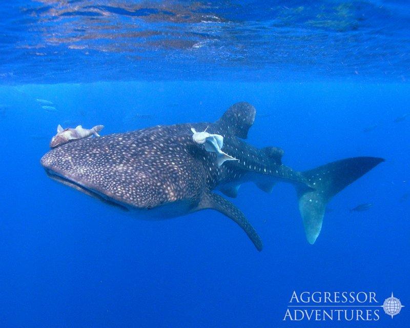 Galapagos Aggressor III diving-4