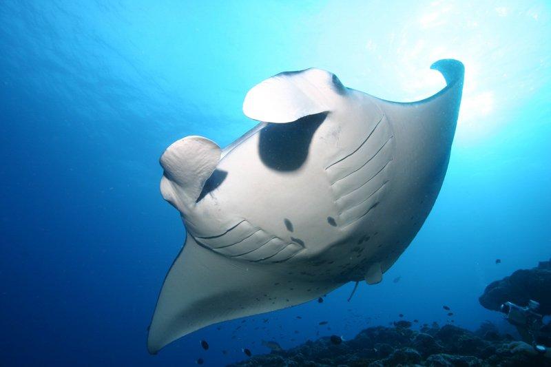 Maldives manta ray-1