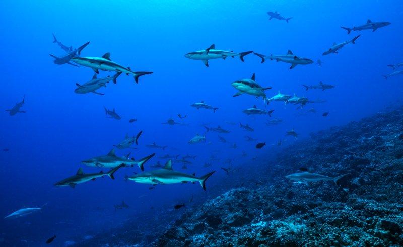 20180119_tetamanu_sharks_00023