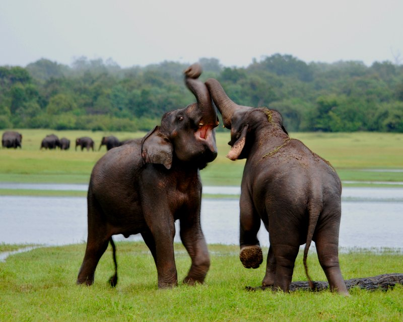 Elephants at National Park / Image Lanka Sportreizen