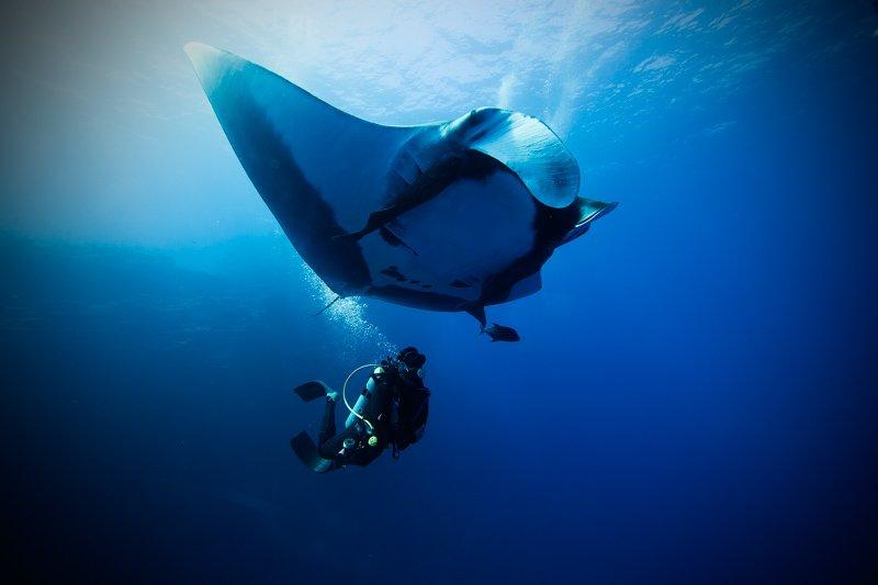 Manta and Diver - Jorge Hauser