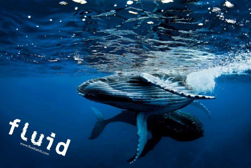 Baleine Fluid 1