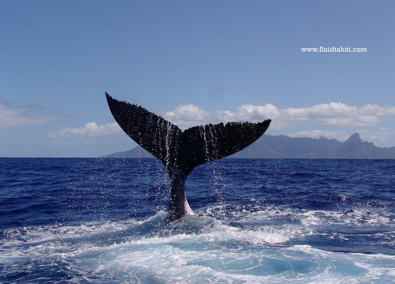 Baleine Fluid 12