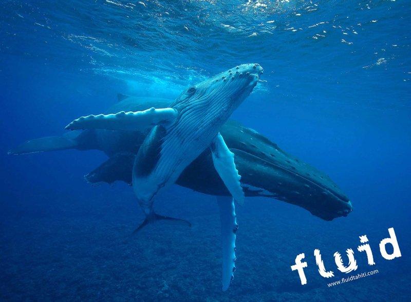 Baleine Fluid 3