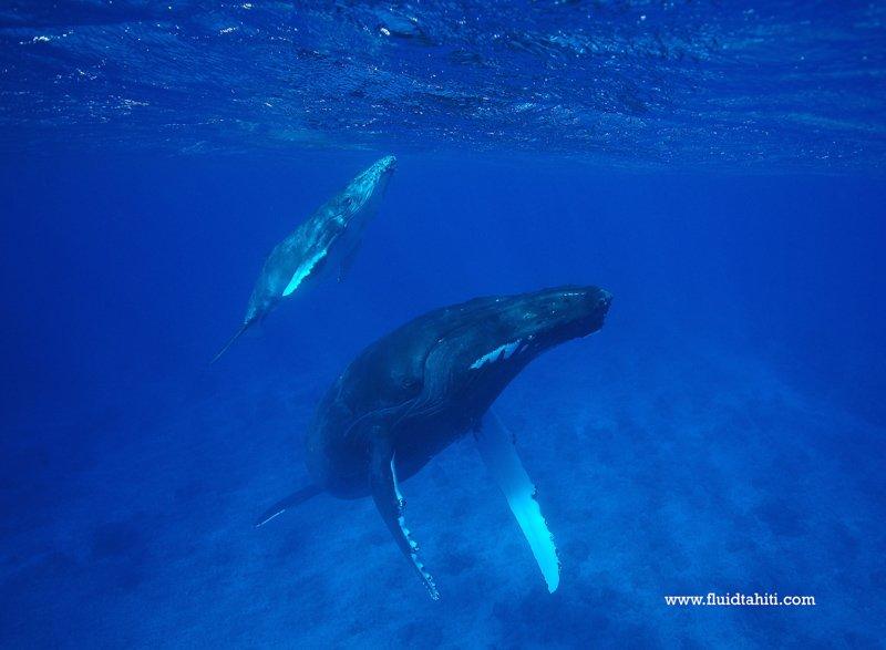 Baleine Fluid 8