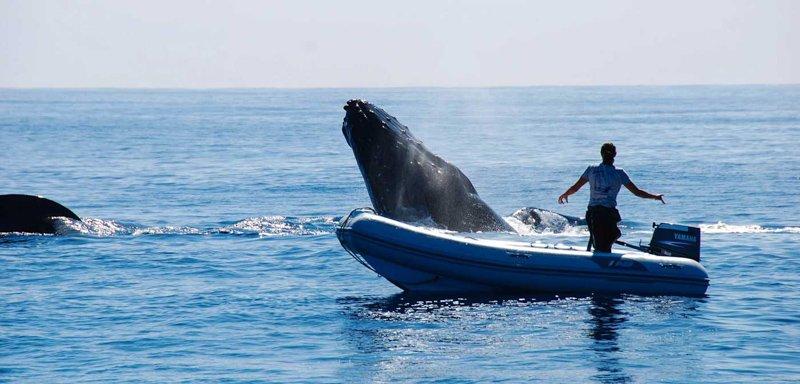 Ha'apai Beach Resort whale swims-1