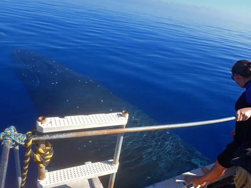 Ha'apai Beach Resort whale swims-3