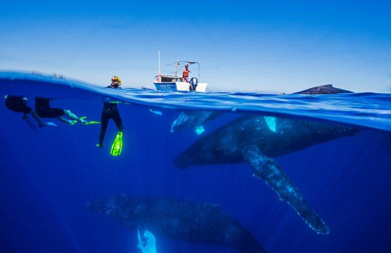 Ha'apai Beach Resort whale swims-4