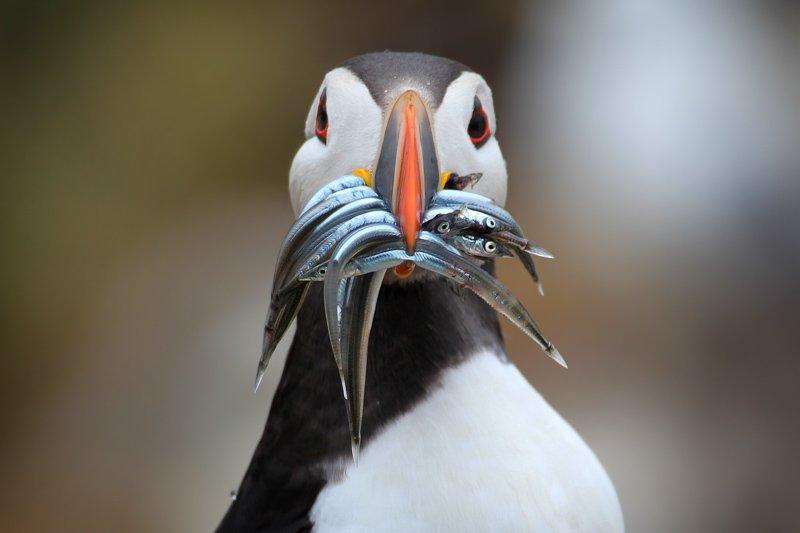Puffin_Shetland Islands