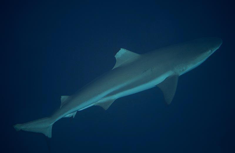 solomon_islands_blacktip_reef_shark_lr