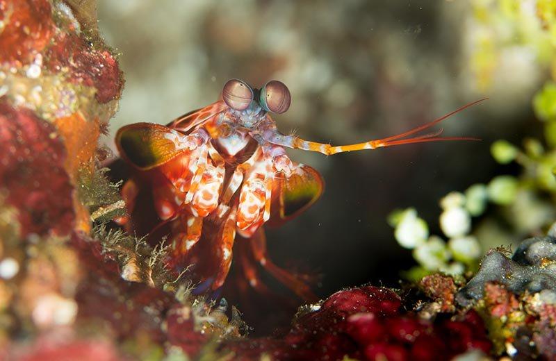 solomon_islands_mantis_shrimp_lr