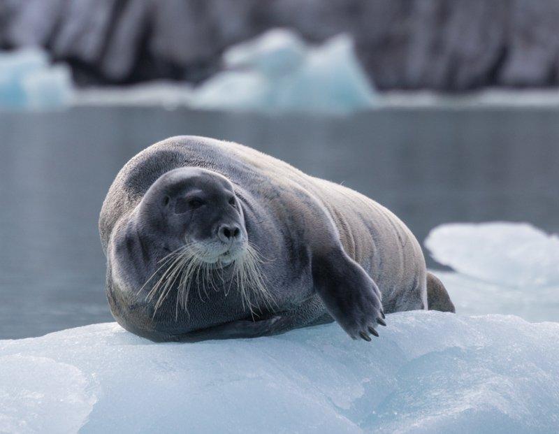 xLeonie Daws - SVAL36 - Bearded Seal (Magdalenefjord, Spitsbergen)